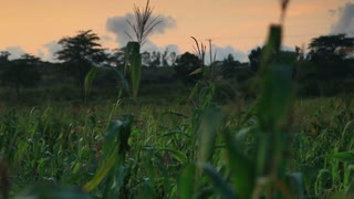 Shot of Corn Stalks in Kenya 2