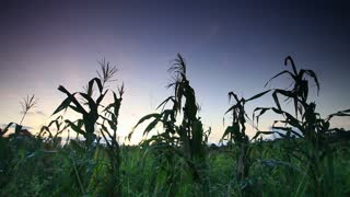 Shot of Corn Stalks in Kenya