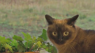 Siamese Cat Sitting on Windowsill by Plants