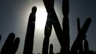 Silhouette of Cactus Cluster in Sun