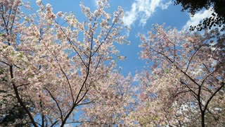 Sky Reaching Cherry Blossoms