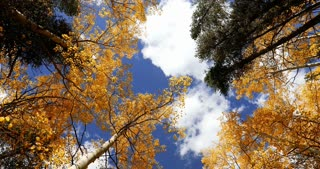 Slider shot looking straight up into fall foliage Aspen trees