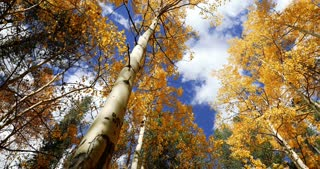 Slider shot through golden Aspen trees with fall foliage in autumn