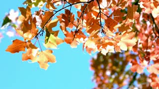 Slow Mo Fall Leaves Against Blazing Blue Sky