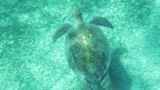 Slow motion and top view of sea turtle swimming underwater close to the ground