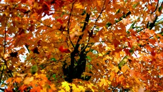 Slow Motion Autumn Leaves Falling 1