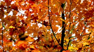 Slow Motion Autumn Leaves Falling 2