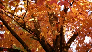 Slow Motion Autumn Leaves Falling 3