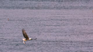 Slow Motion Bald Eagle Drops Fish