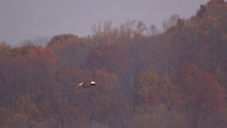 Slow Motion Bald Eagle Flying by Fall Trees