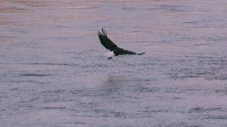 Slow Motion Bald Eagle Flying Off with Fish
