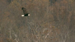 Slow Motion Bald Eagle in Flight