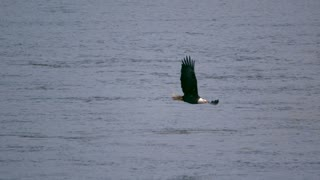 Slow Motion Bald Eagle Skimming Water