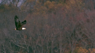 Slow Motion Bald Eagle Soaring 2