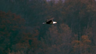 Slow Motion Bald Eagle Soaring Over Treetops