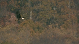 Slow Motion Bald Eagle Soaring