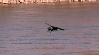 Slow Motion Bald Eagle Swooping Toward Water