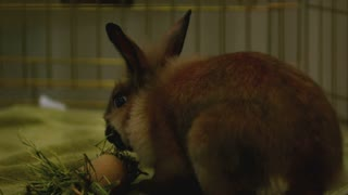 Slow Motion Brown Bunny Chewing Food