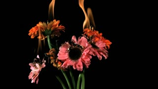 Slow Motion Burning Gerber Daisies