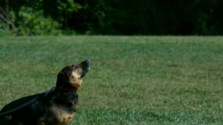 Slow Motion Dog Jumping To Catch Tennis Ball 2