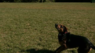 Slow Motion Dog Jumping To Catch Tennis Ball
