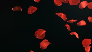 Slow Motion Falling Red Rose Petals