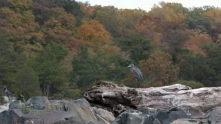 Slow Motion Heron Taking Off