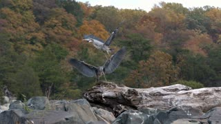 Slow Motion Herons on Rocks