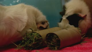 Slow Motion Munching Guinea Pigs 1