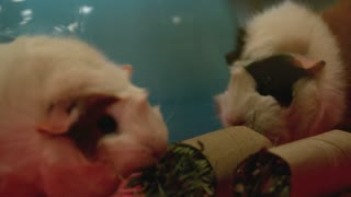 Slow Motion Munching Guinea Pigs 2