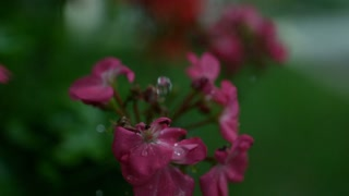 Slow Motion Pink flowers