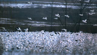 Slow Motion Snow Geese Flying Over Flock