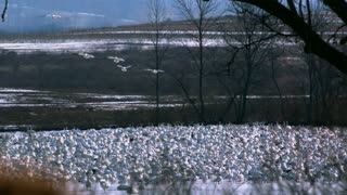 Slow Motion Snow Geese Flying Over Grounded Flock
