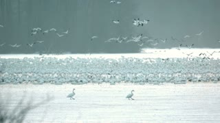 Slow Motion Snow Geese Taking Flight