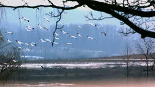Slow Motion Snow Geese Through Trees