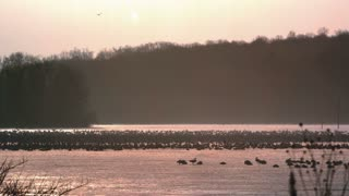 Slow Motion Snow Goose Migration Begins