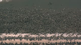 Slow Motion Snow Goose Migration