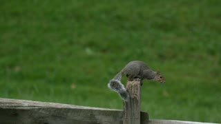 Slow Motion Squirrel Jumping