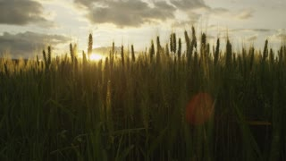 SLOW MOTION: Sun shinning through wheat blades on agricultural field at sunset
