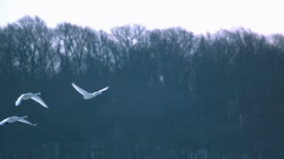 Slow Motion Swans Flying Against Trees 4