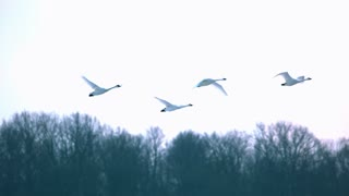 Slow Motion Swans Flying Through Morning Sky