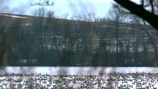 Slow Motion Tundra Swans Flying Over Lake