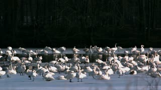 Slow Motion Tundra Swans on Lake 2
