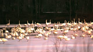 Slow Motion Tundra Swans on Lake 3