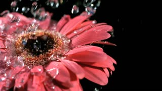 Slow Motion Water Droplets on Gerber Daisy