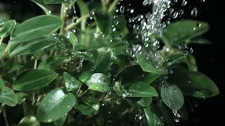 Slow Motion Water Droplets on Green Plant Leaves