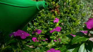 Slow Motion Watering Can On Pink Flowers 1