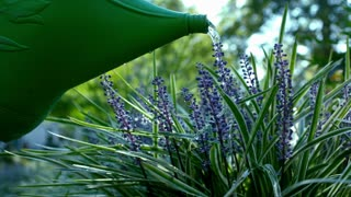 Slow Motion Watering Can On Purple Flowers 2