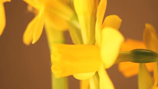 Slow Rotating Daffodil Close Up