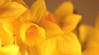 Slow Rotating Daffodil Petals Close Up